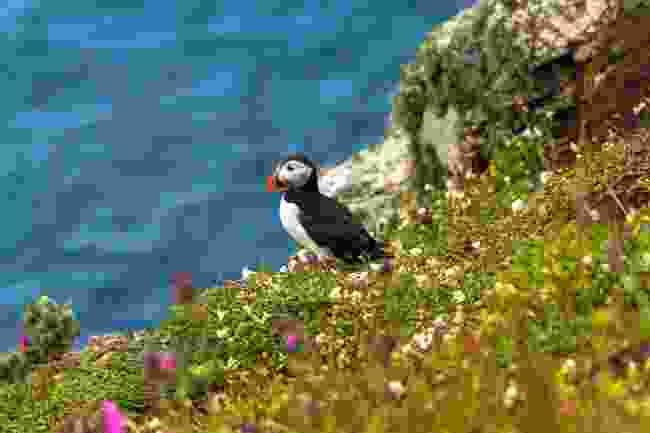 Puffins on Skomer Island (Shutterstock)