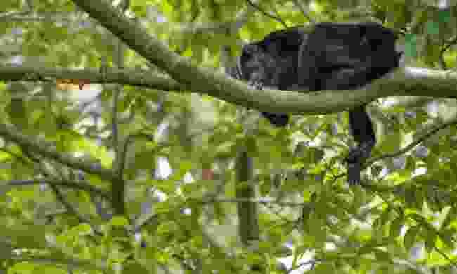 A howler monkey takes a nap (Viv Leese)