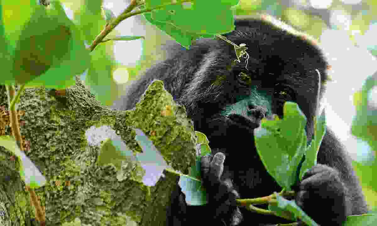 A curious black howler monkey (Dreamstime)