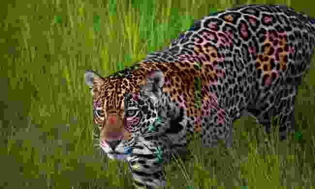 Queen of the Pantanal: A Jaguar in Brazil's Pantanal (Simon Chubb)
