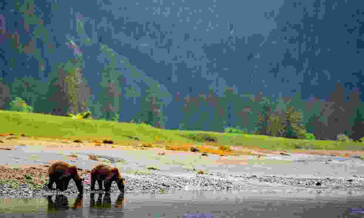 Two grizzly bears stop for a drink by the shore (Spirit Bear Lodge)