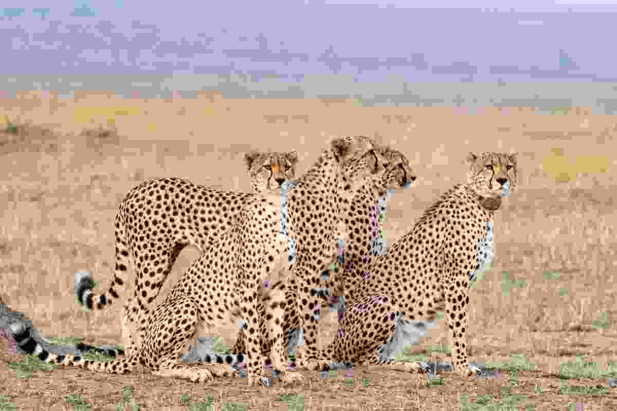 A cheetah coalition at Masai Mara National Reserve, Kenya (Animal Planet/Jonathan and Angela Scott)