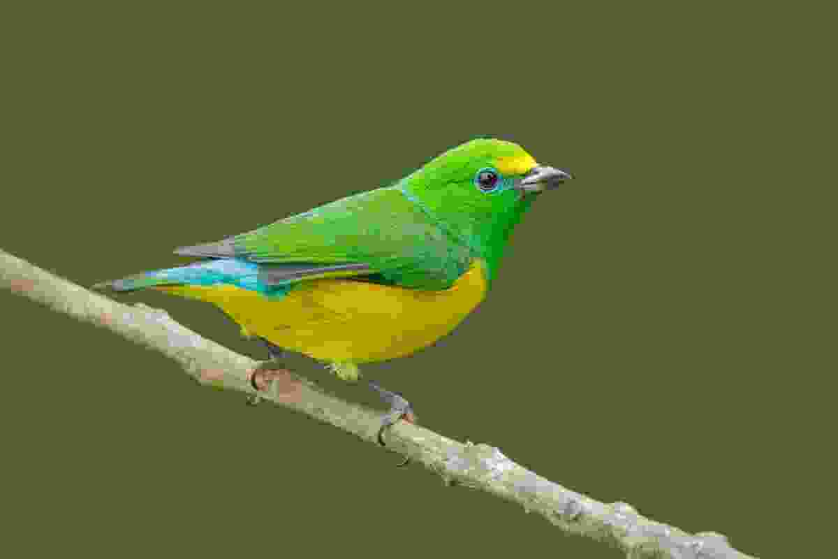 Blue-naped Chlorophonia (Dreamstime)