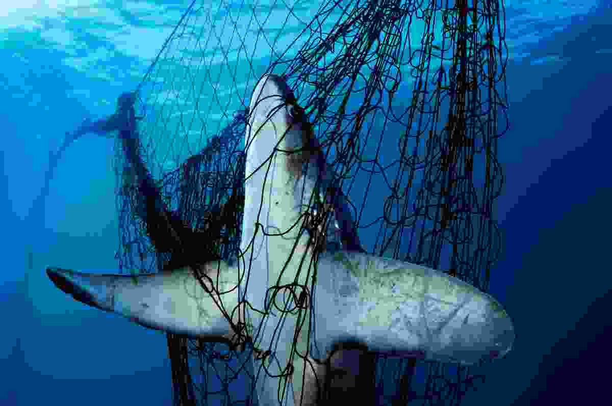 Shark in net (© Brian Skerry)