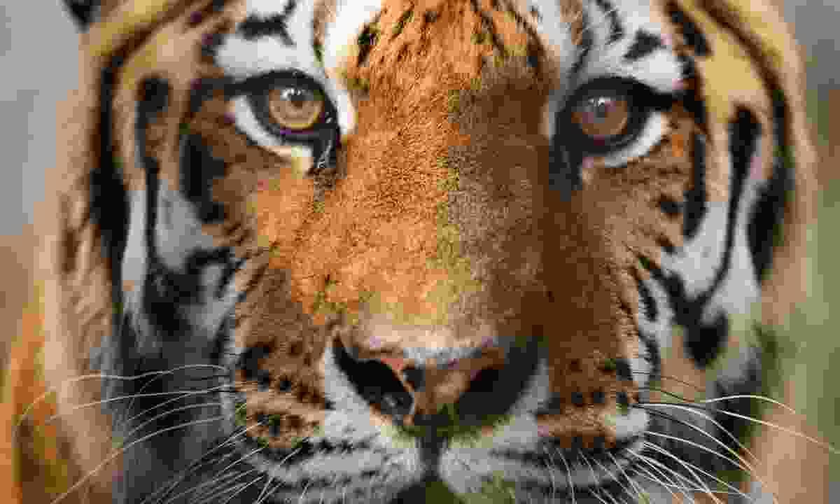 Bengal tiger (BBC NHU/Raju Soni/Shutterstock)