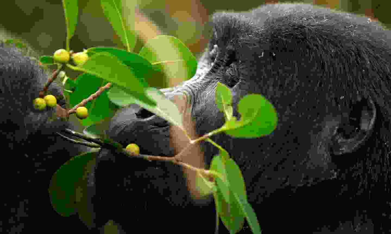 A mountain gorilla in Uganda (Shutterstock)
