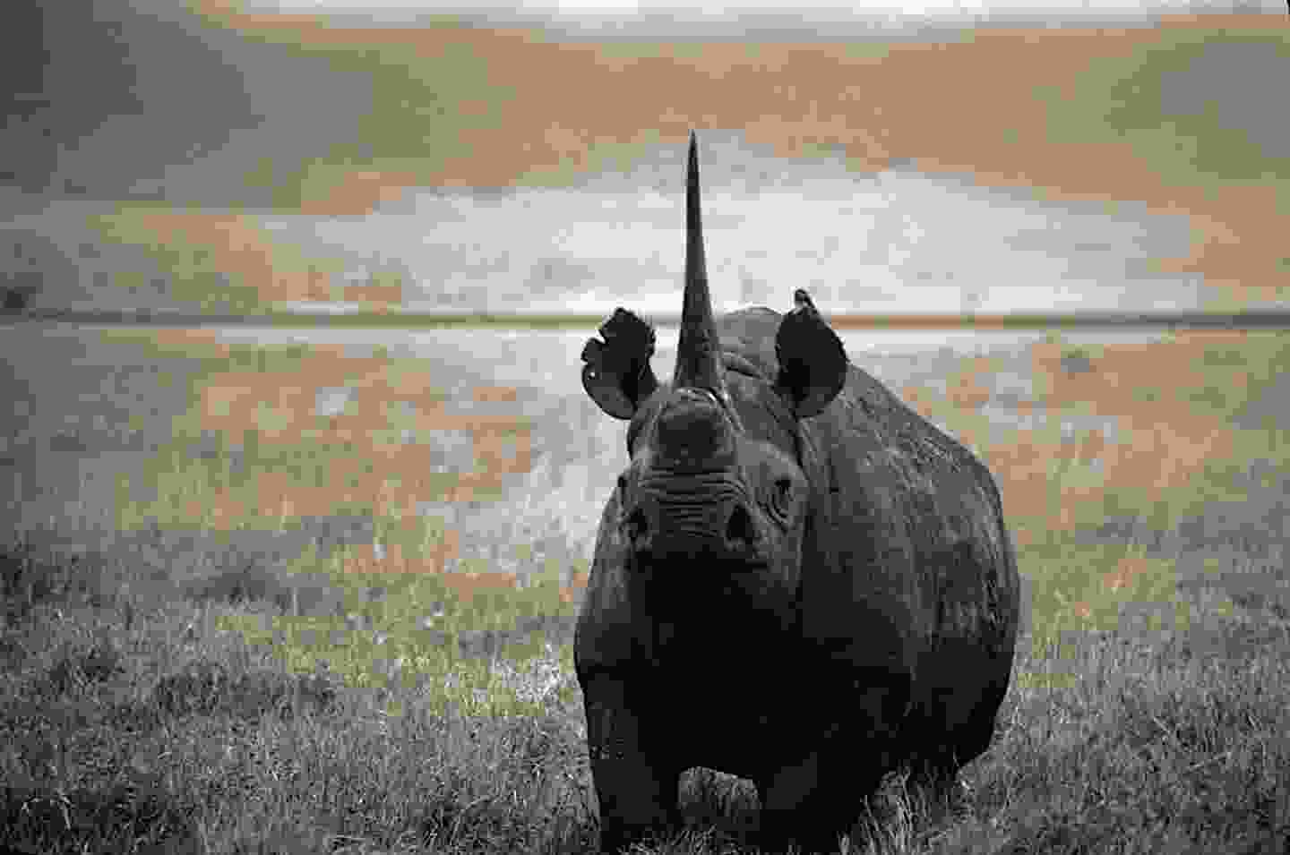 Black rhino in Tanzania (David Cayless)