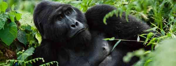 Gorilla (Shutterstock)