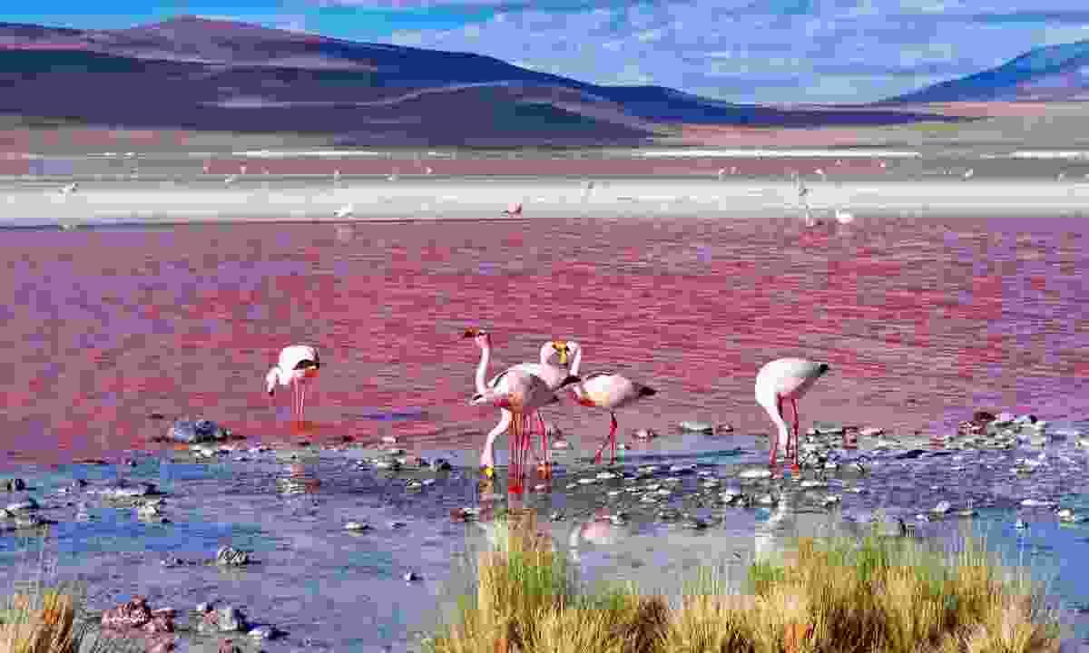 James's flamingos at Laguna Colorada (Dreamstime)