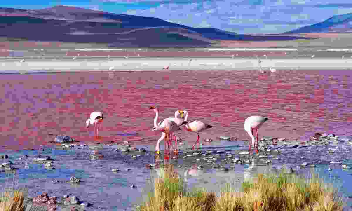 James's flamingos at Laguna Colorada (Dreamstime)
