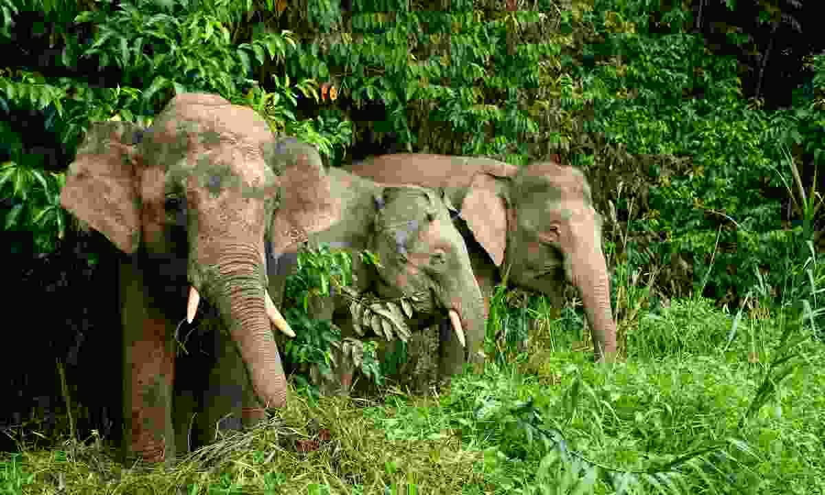 Wild pygmy elephants feeding by the Kinabatangan River (Dreamstime)