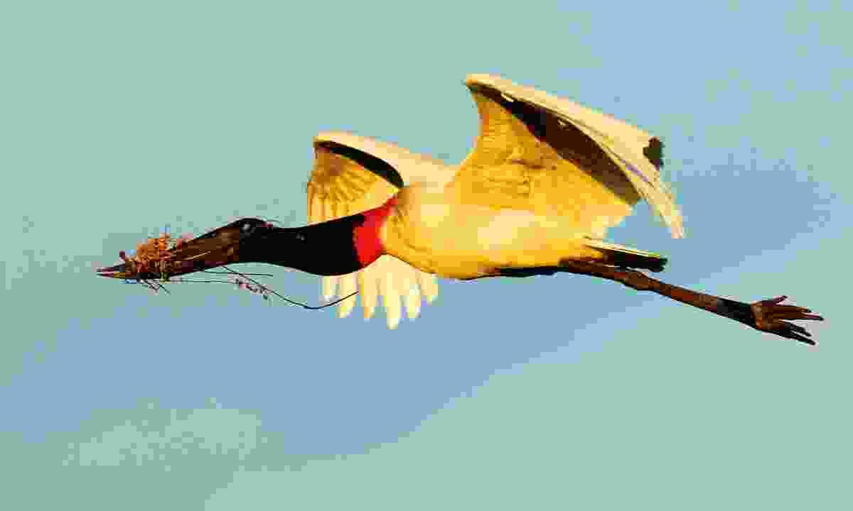 A jabiru stork in flight (Dreamstime)