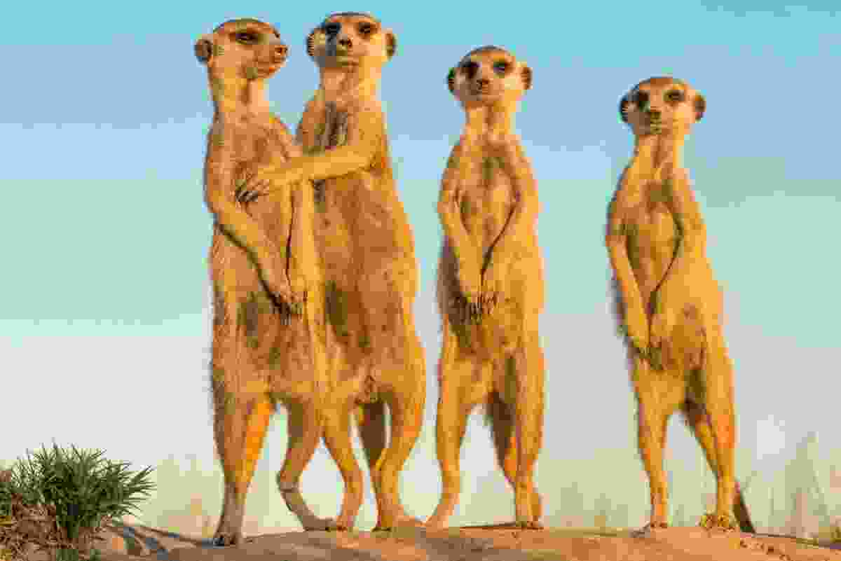 Meerkats on Botswana's Makgadikgadi Pans (Frans Lanting)