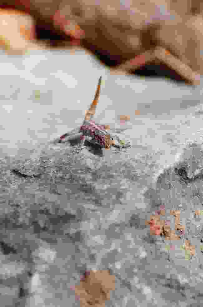 A rock semaphore gecko (Phoebe Smith)