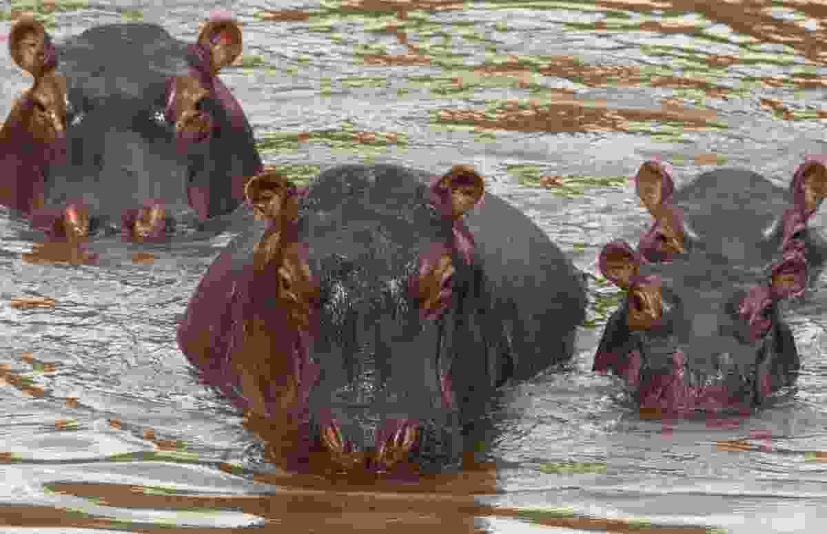 Hippopotamus and calves, Maasai Mara National Reserve, Kenya (Art Wolfe)