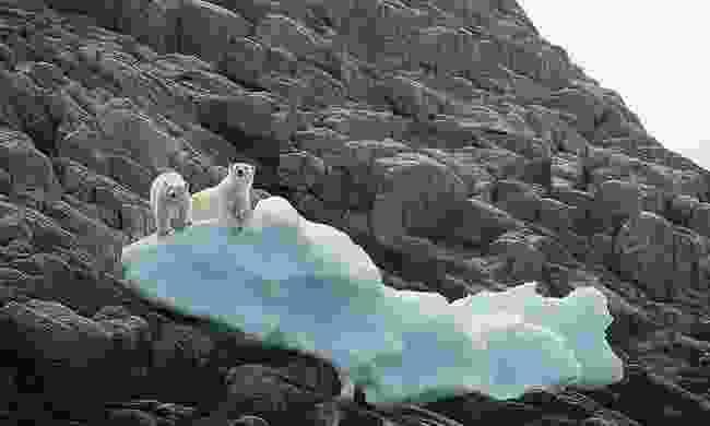 Monumental Island polar bears (Acacia Johnson)