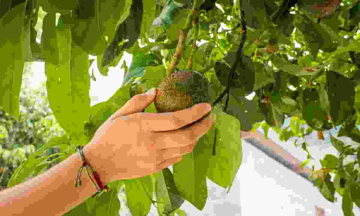 Picking an avocado (Shutterstock)