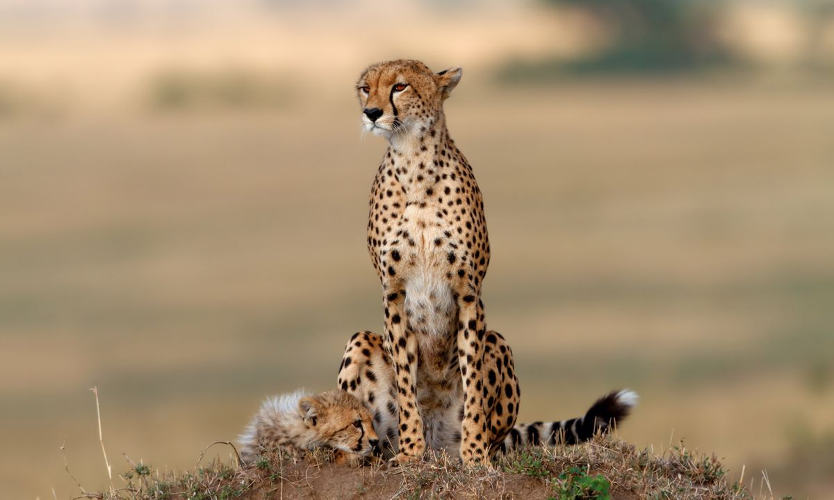 A cheetah – and her fluffy cub – perch on a termite mound in Kenya (Shutterstock)