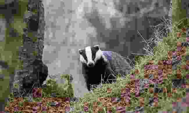 Spot badgers in Cumbria (Shutterstock)