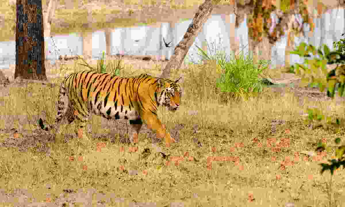 A male tiger in Pench National Park (Shutterstock)