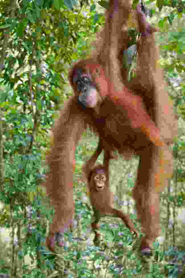 Gunung Leuser National Park, Sumatra, Indonesia (Suzi Eszterhas)