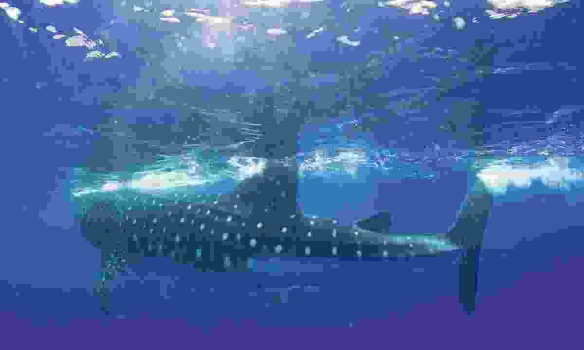 Whale shark in St Helena (St Helena Tourism)