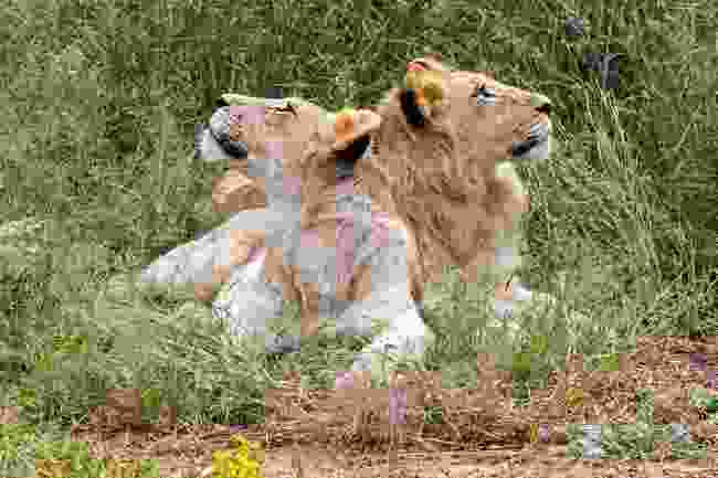 Timbavati Private Game Reserve's white lion cubs (Shutterstock)
