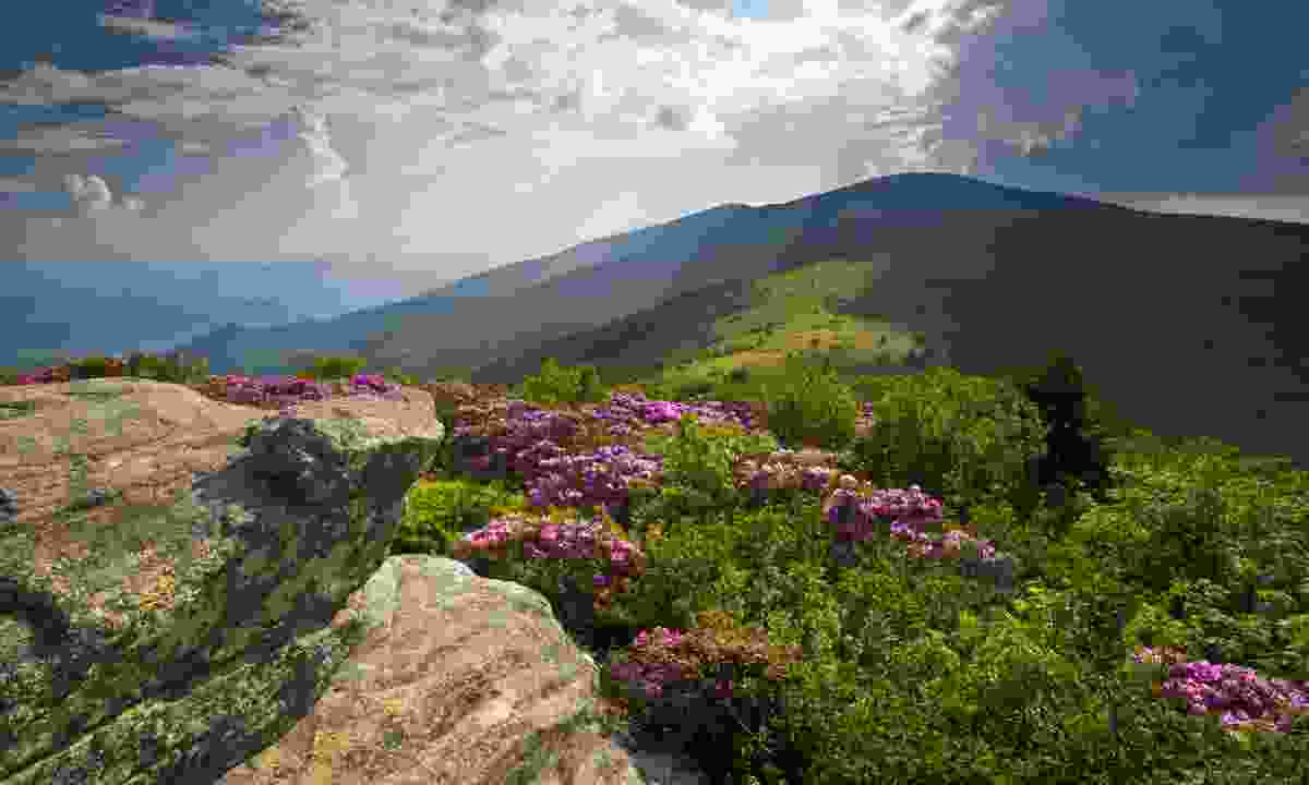 Rhododendron on the Appalachian Trail (Dreamstime)