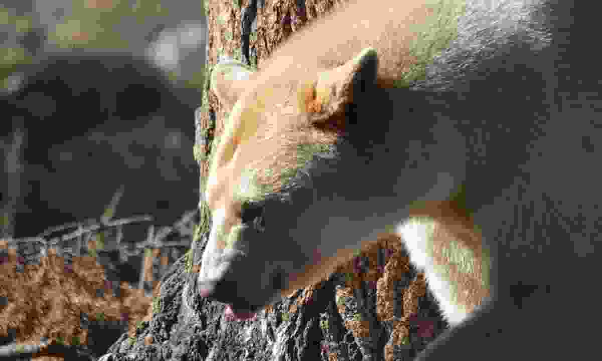 An elusive Spirit Bear (Dreamstime)