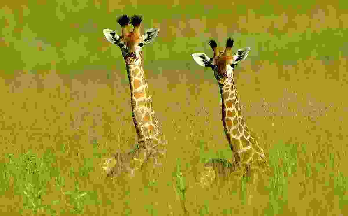 Baby giraffes peek over the long grass, Vumbura Plains, Botswana (Photo © 2018 Michael Poliza)
