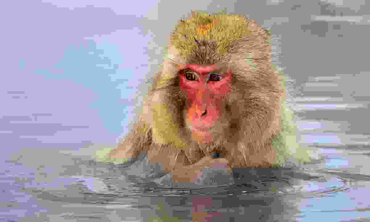 Snow monkey bathes in a pool (Dreamstime)