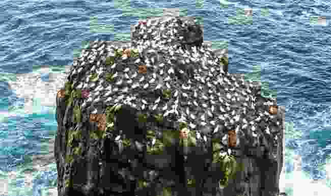 The gannet colony at Stóri Karl (Graeme Green)