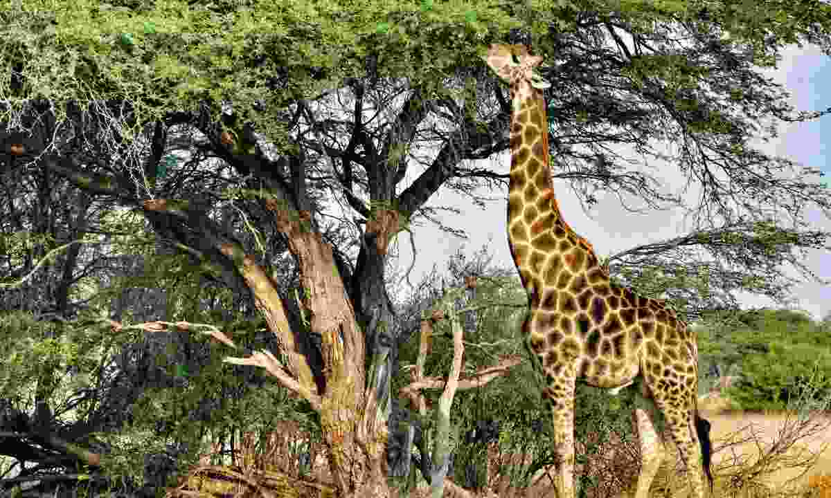 A giraffe feeds from a tree (Mark Eveleigh)