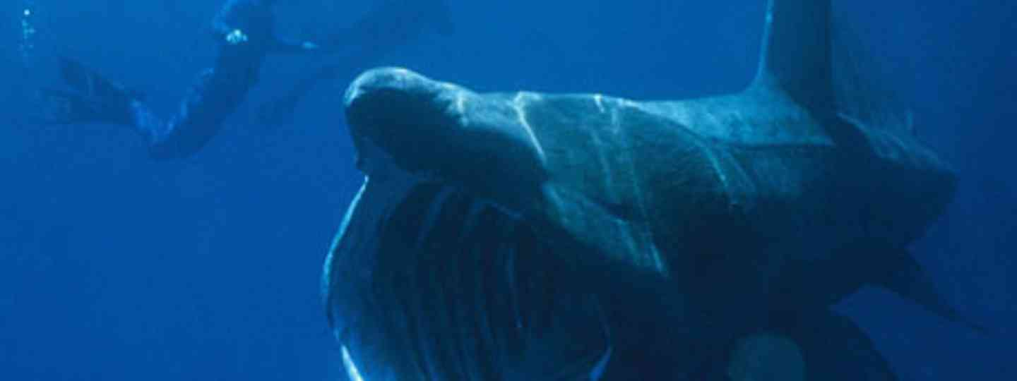 The basking shark - not one of nature's beauties, but has it's own appeal (orangemonk)