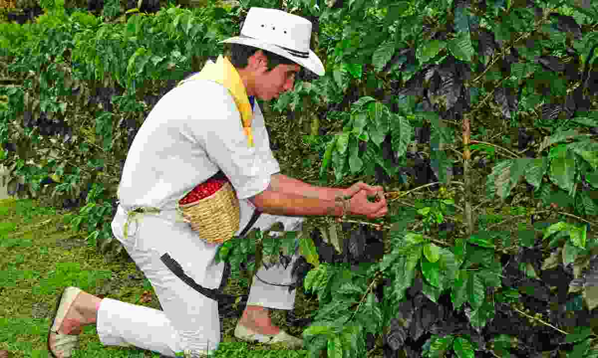 Picking coffee beans in the coffee region (JLA)