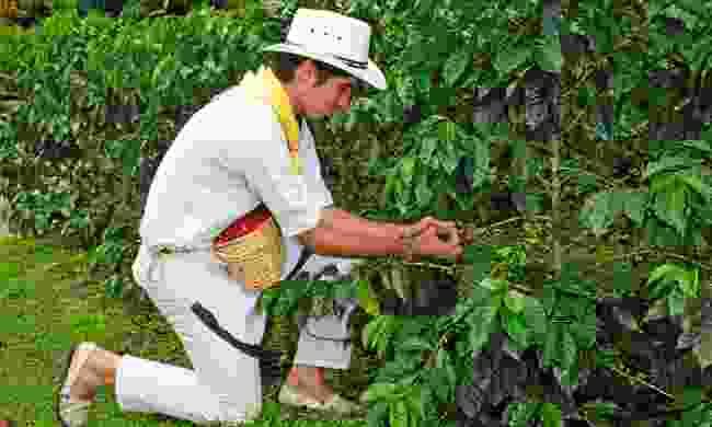 Picking coffee beans in the coffee region (JLA)