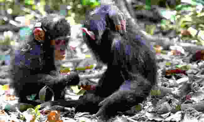 Baby chimpanzees in Gombe (Dreamstime)