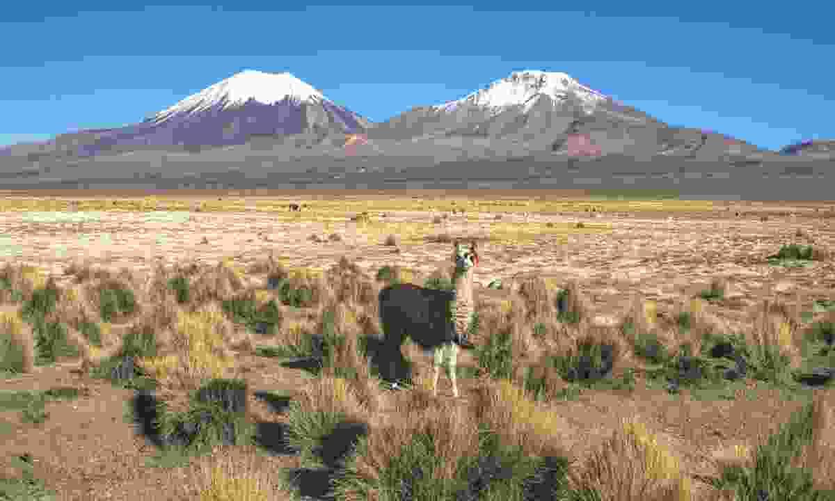 Llama in Sajama National Park (Dreamstime)
