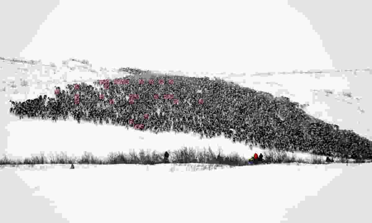 A 3,000-strong reindeer herd between Tuktoyaktuk and Inuvik, Northwest Territories, Canada (Dreamstime)