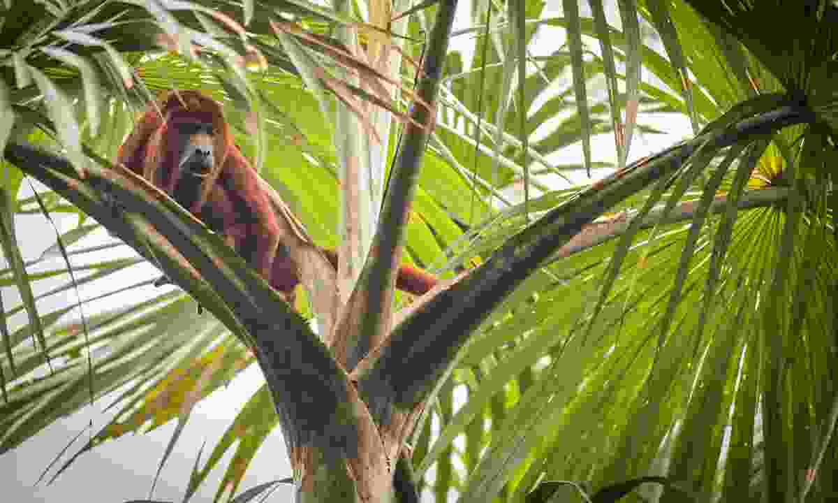 A red howler monkey at Yasuni National Park, Ecuador (Dreamstime)