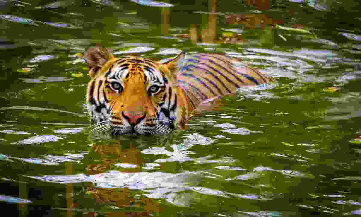 Tiger resting in the water at Corbett National Park (Dreamstime)