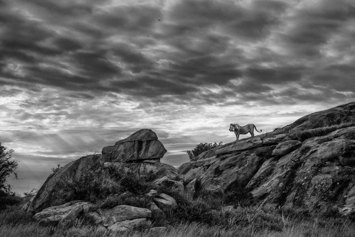 Lion on rocks in the Serengeti, Tanzania (Federico Veronesi)