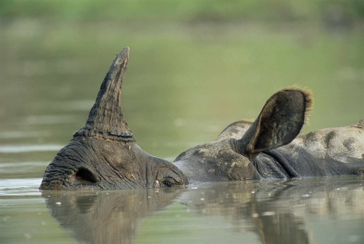 Greater one-horned rhino in India (James Warwick)