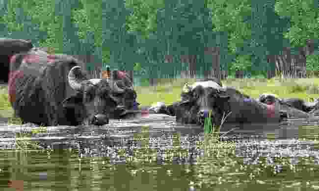 Buffalo in Kerkini Lake (Greek Tourism Board)