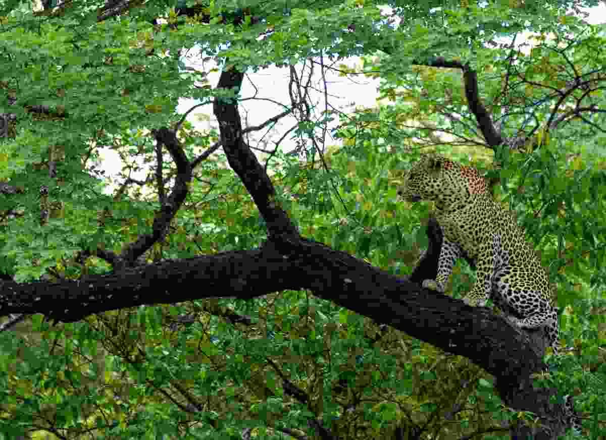 A leopard in Chobe National Park, Botswana during the green season (Shutterstock)