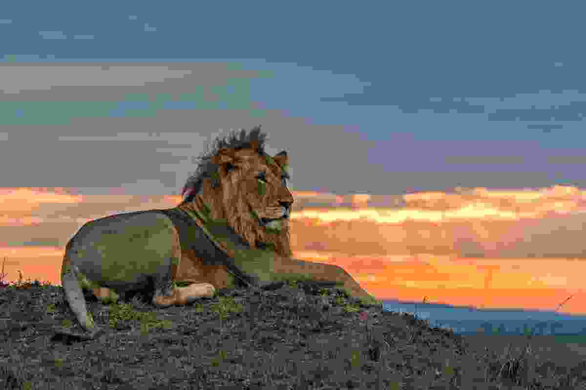 A member of the Marsh pride looks out over the reserve (Animal Planet/Jonathan and Angela Scott)