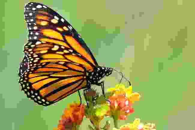 Monarch butterflies (Shutterstock)