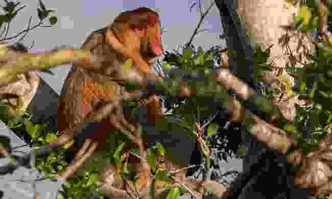 Proboscis Monkey (Sabah Tourism Board)