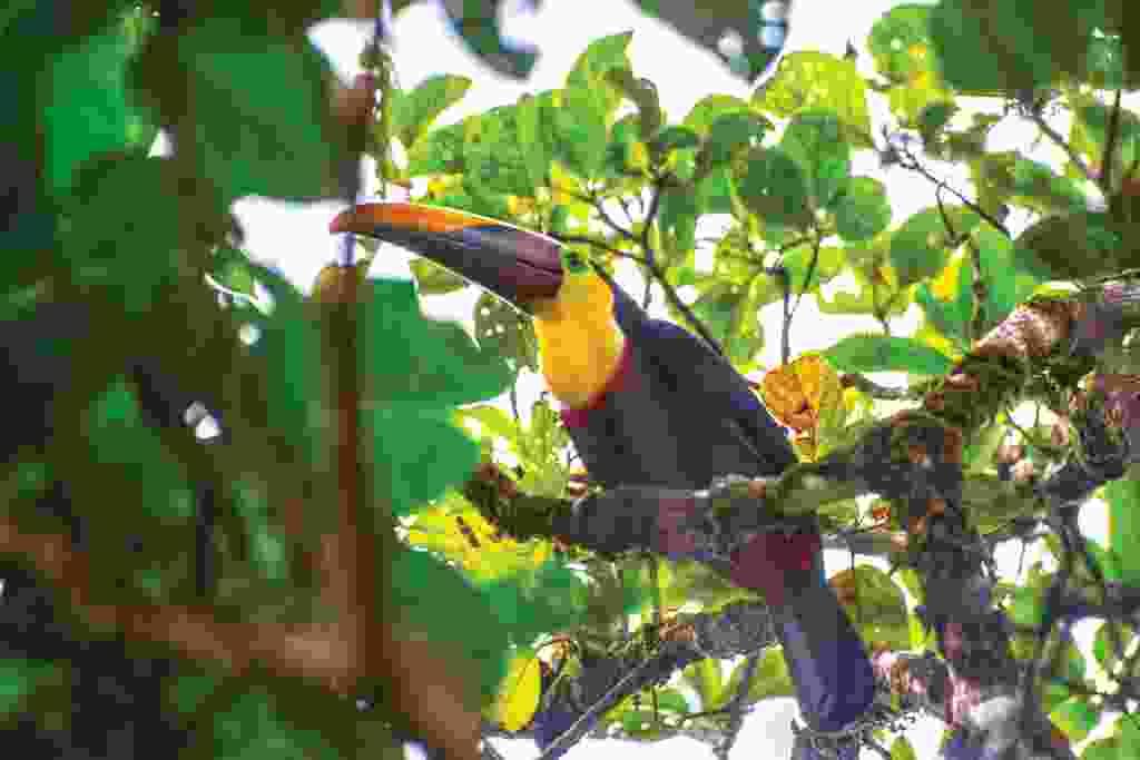 A chestnut-mandibled toucan (Mark Stratton)