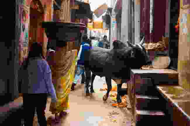 A holy black cow blocks a narrow alley. (Shutterstock)